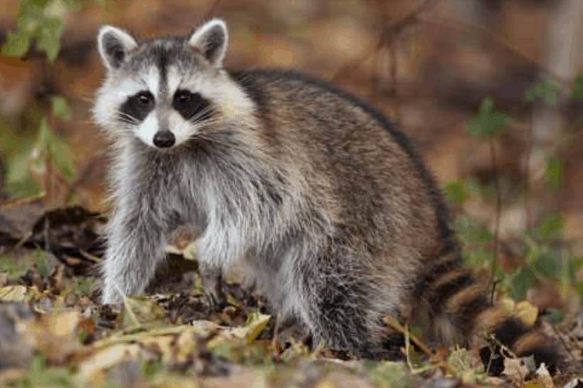 10 Top facts about Raccoons that everyone should know